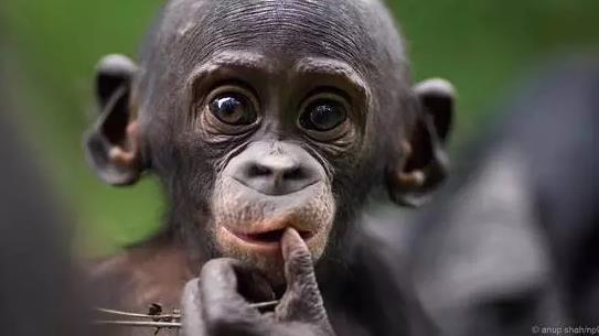 人和黑猩猩的相同之处